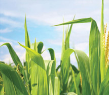 Illinois Corn Marketing Board: Integrating Communication Campaign